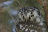 Nyctale de Tengmalm (Boreal Owl )