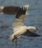 Oies Geese  in Flight