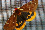 Papillon Baie Trinité