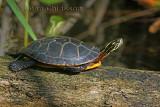 Tortue peinte Turtle