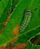 Chenille ( Carterpillar  )