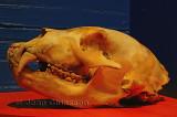 Loup fossile préhistorique
