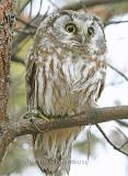 Nyctale de Tengmalm   ( Boreal Owl  ) Elle est haute d'environ 25 CM