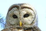 Full-frame ) Chouette Rayée  (Barred Owl )