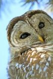Full-frame ) Chouette Rayée  (Barred Owl