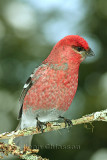 Durbec des sapins - Pine Grosbeak ( Male )