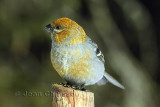 Durbec des sapins - Pine Grosbeak   ( Female)