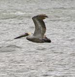 Pelicano - Pelican