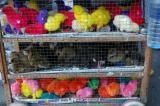 Easter Chicks 2