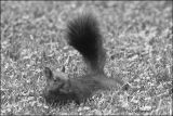 Black Squirrel in Black and White