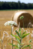 hay with queen anne's lace