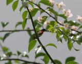 blood-breasted flowerpecker