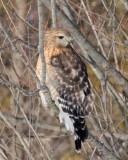 Red-shouldered Hawks & Goshawks