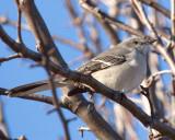 Mockingbirds & Thrashers