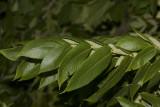 ButternutTree8R.jpg