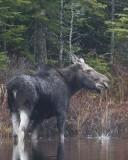 Bears & Moose