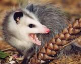 Groundhogs, Possums & Rabbits