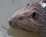 Beavers Muskrats Mink & Porcupines