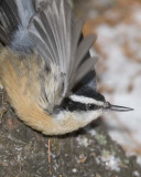 Creepers & Nuthatches
