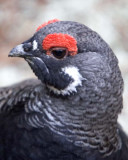 Partridge Grouse & Turkeys