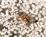 FlowerLonghornBeetle1R.jpg