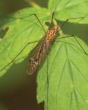 Cranefly2.jpg