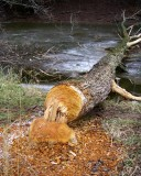 BeaverDamage10.jpg