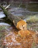 BeaverDamage9.jpg