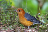 Birds of Bukit Tinggi,Pahang