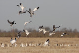 Snow Geese and Greater White-fronted Geese