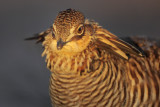 Greater Prairie Chicken (Attwater's)
