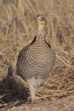 Greater Prairie Chicken (Attwater's)