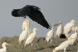 Chihuahuan Raven and Cattle Egrets