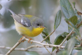 Tropical Parula (probably a hybrid with Northern Parula)
