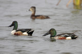 Northern Shoveler and Ring-necked Duck