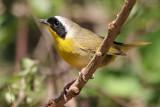 Common Yellowthroat with deformed beak