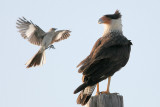 Crested Caracara harassed by Northern Mockingbird