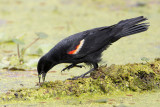 Red-winged Blackbird (gaping)