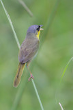 Gray-crowned Yellowthroat