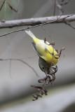 Nashville Warbler using its beak to probe dead leaves
