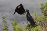 Red-winged Blackbird protecting its nest from a Boat-tailed Grackle