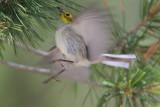 Hermit Warbler