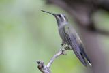Blue-throated Hummingbird