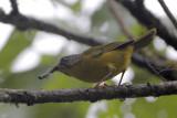 Gray-headed Warbler