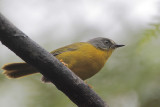 Gray-headed Warbler