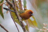 Ochre-bellied Brush-Finch