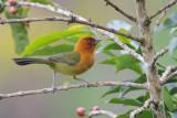 Ochre-bellied Brush-Finch