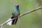 White-tailed Sabrewing