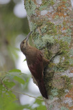 Strong-billed Woodcreeper