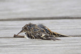 Expired Brown Creeper